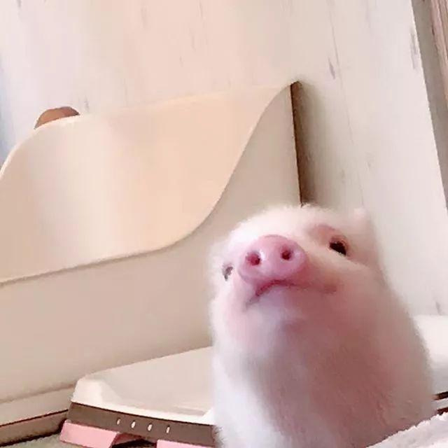 """日本最新打卡地!把""""猪圈""""搬到了市中心?游客们不嫌臭还挤破头..."""