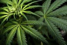 美国大学生去年大麻吸食率达43%,为35年来最高!-留学世界网