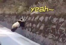 #大熊猫 散步、野猪狂奔、雪豹金雕现身…人类消失1个月,动物集体狂欢! #武汉肺炎 #新型冠状病毒 #武汉疫情 #COVID19-留学世界网